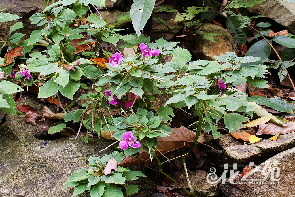 浙皖凤仙花 Impatiens neglecta